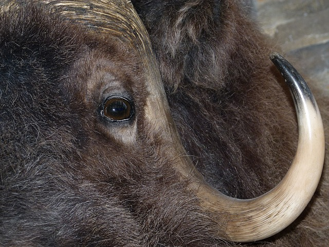 Free bison head mammal animal close-up macro