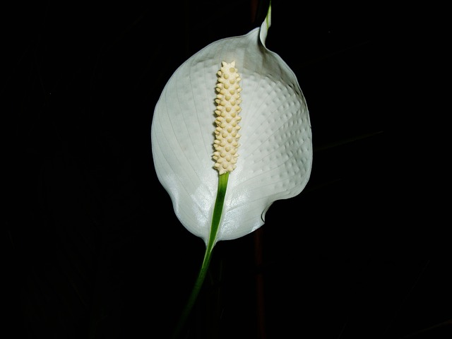 Free flower white flower bloom spathiphyllum tropical