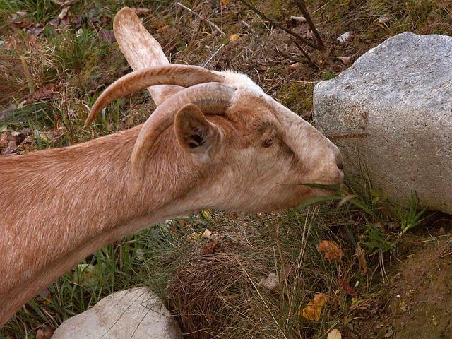Free goat corners brown mammals animal