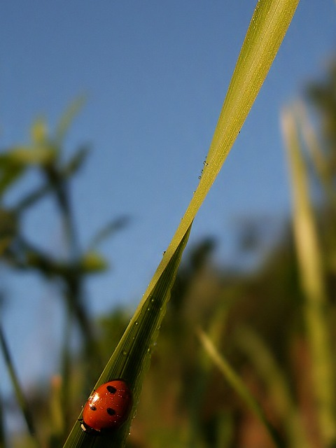 Free insect ladybug red grass blade of grass sky