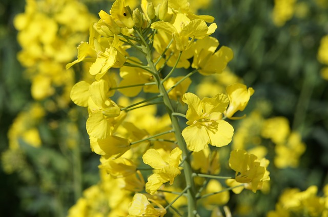Free yellow flower rapeseed crop agricultural crops