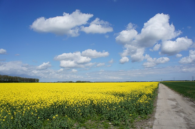 Free rapeseed yellow skies clouds nature blue