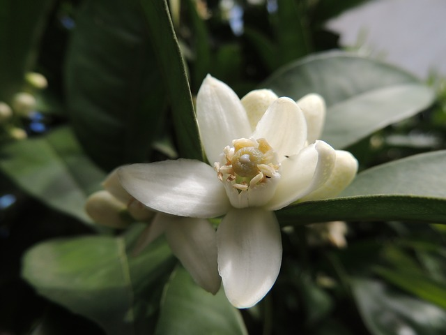 Free flower orange blossom plant flowers nature fruit