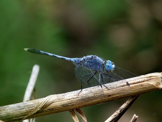 Free diplacodes trivialis dragonfly insect branch woods