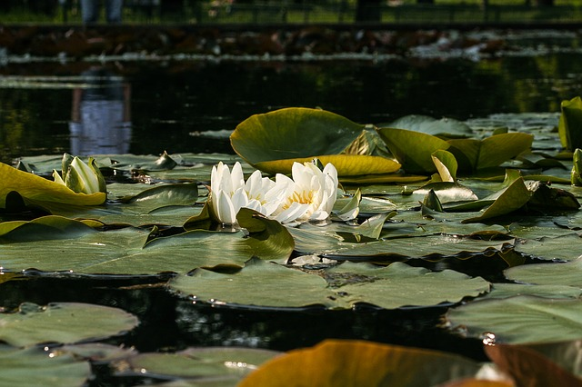 Free white water lily nymphaea alba water lilies flower