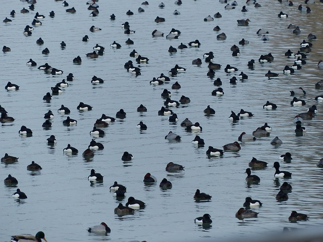 Free tufted duck ducks waterfowl group water see