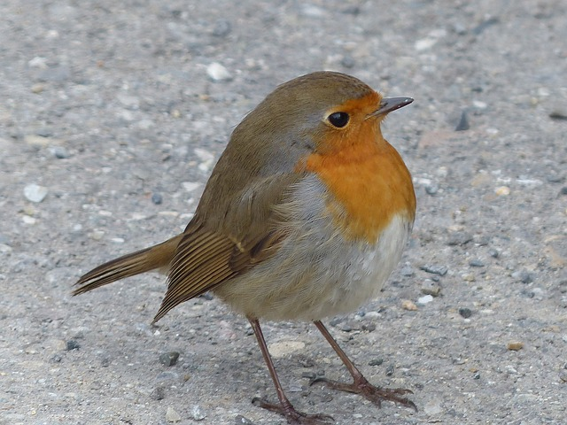 Free               bird robin animal erithacus rubecula species