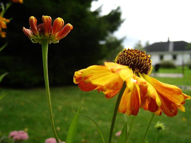 Free coneflower orange flowers garden house sky blue