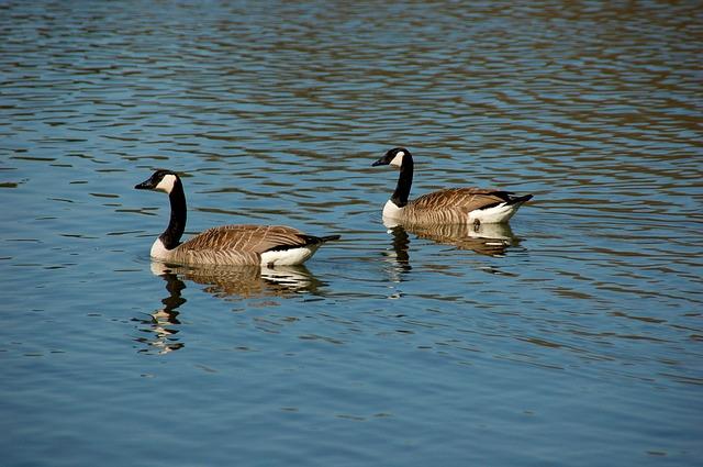 Free wild geese geese dike idyll birds