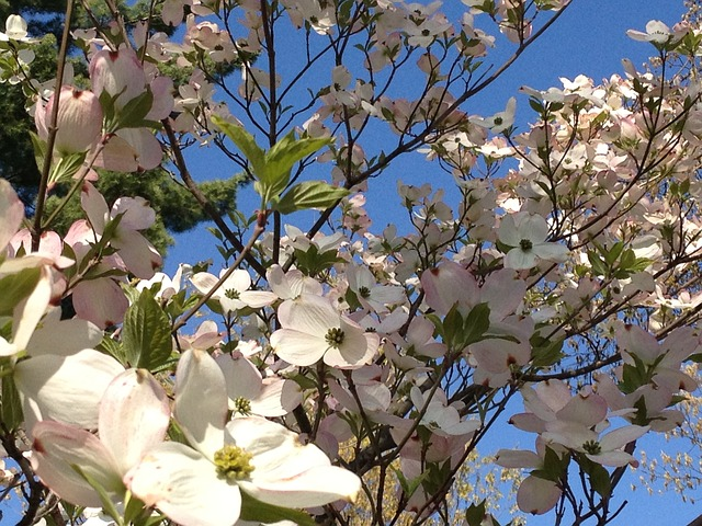 Free dogwood spring sunny day sky blossoms