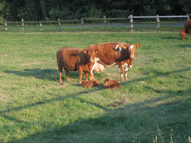 Free cattle cows calf calves livestock field grass