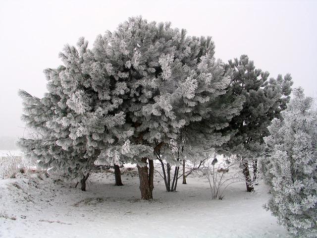 Free tree winter trees ice wintry pine