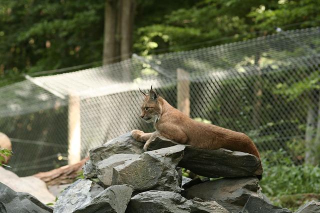 Free lynx felidae lynx lynx cat wildcat zoo enclosure