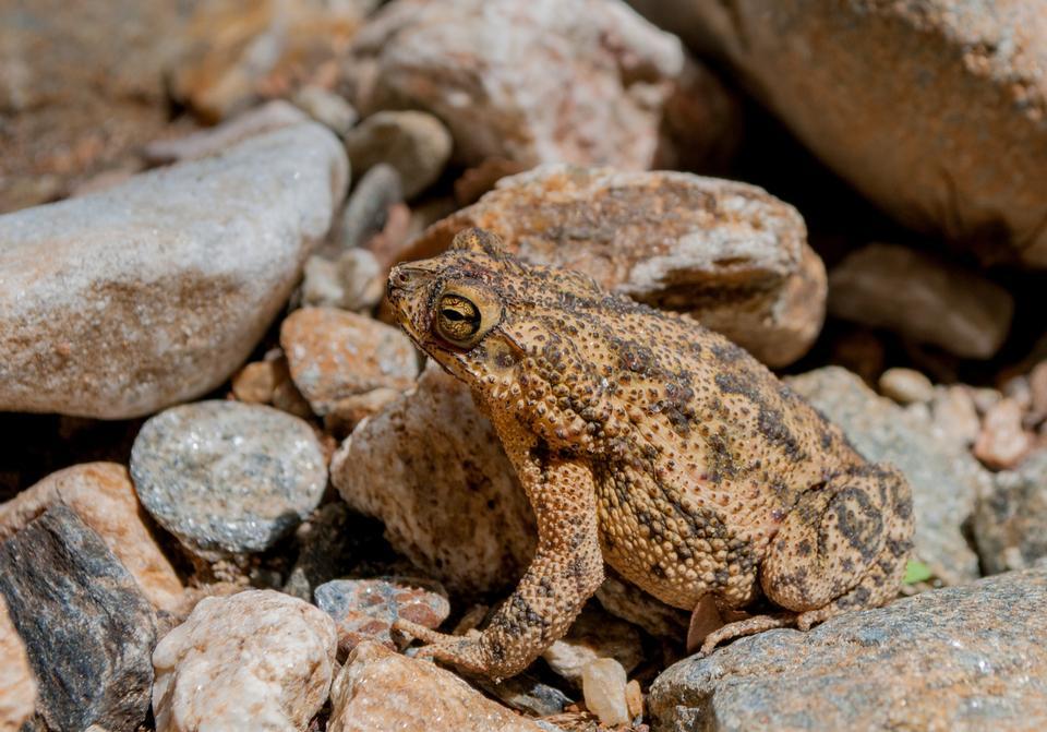 Free Toad Bufo marinus