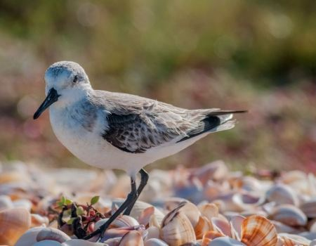 Free European Sanderling (Calidris alba) bird