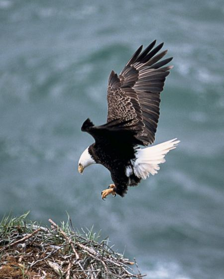 Free Eagle landing on its nest of sticks