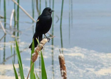 Free red-winged blackbird sits on fireflag stem