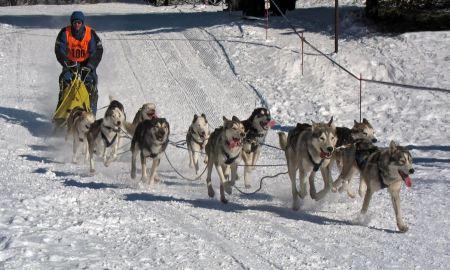 Free Siberian Huskys Sledge