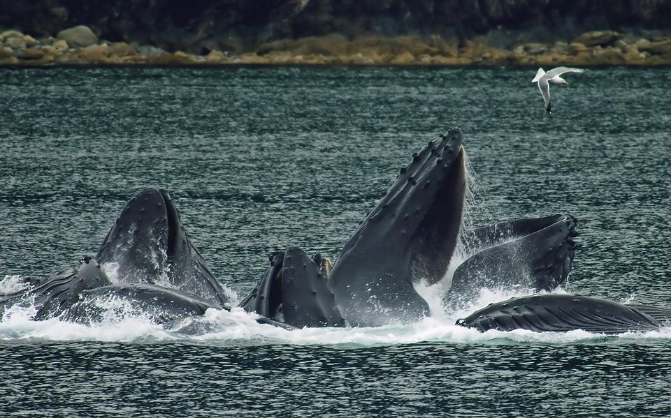 Free Humpback whales in North Pass