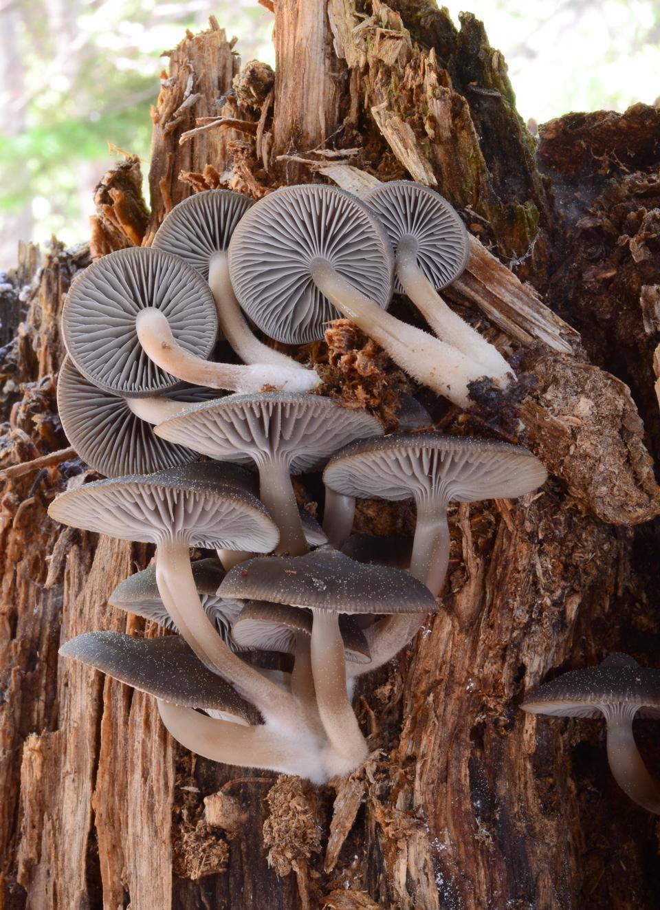 Free mushrooms on a tree