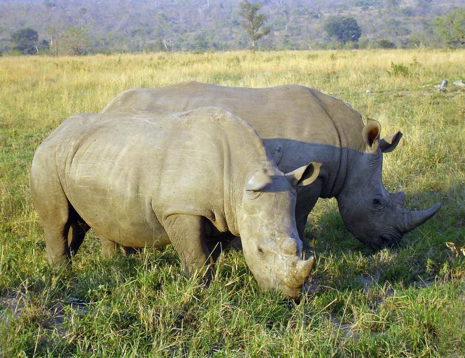 Free Rhinoceros in South Africa
