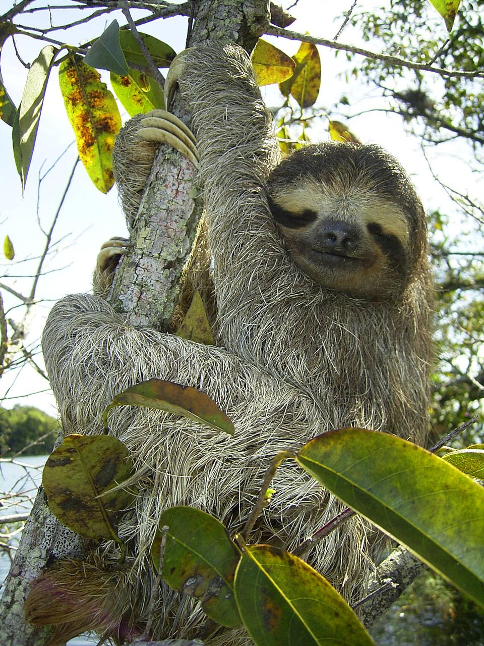 Free Sloth in  Lake Gatun, Republic of Panama