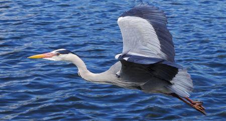 Free Grey heron flying in London