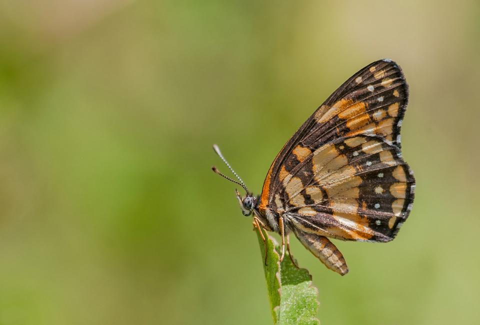 Free Bordered Patch butterfly