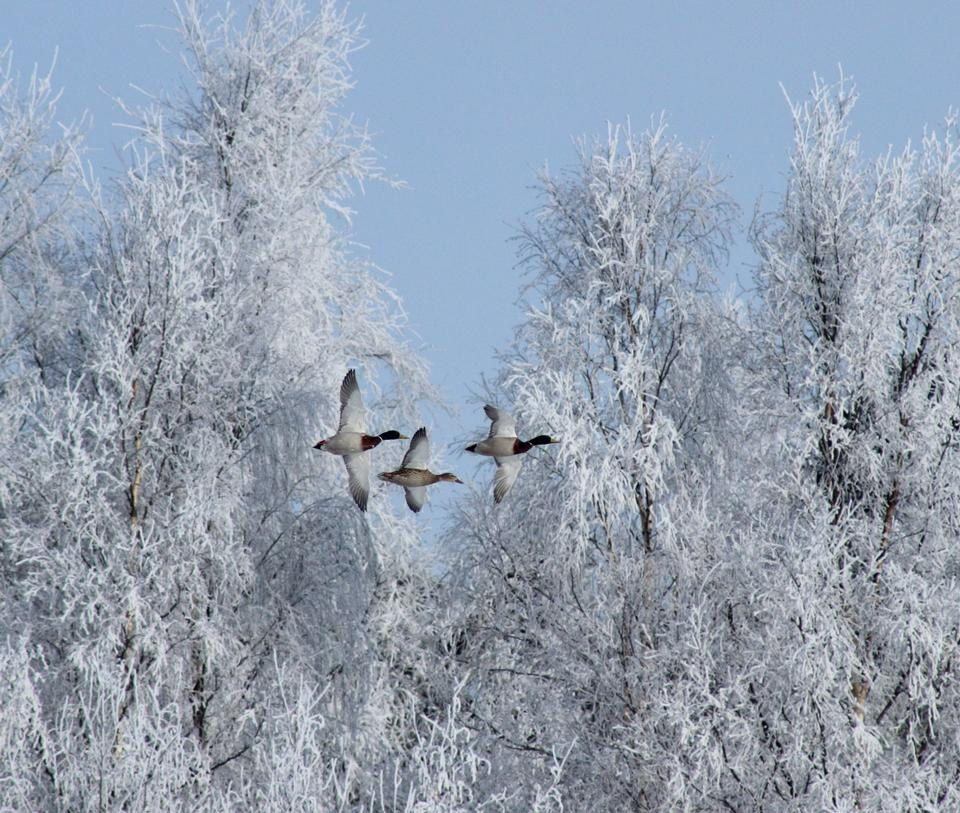 Free Mallards in flight with hoar frosted trees