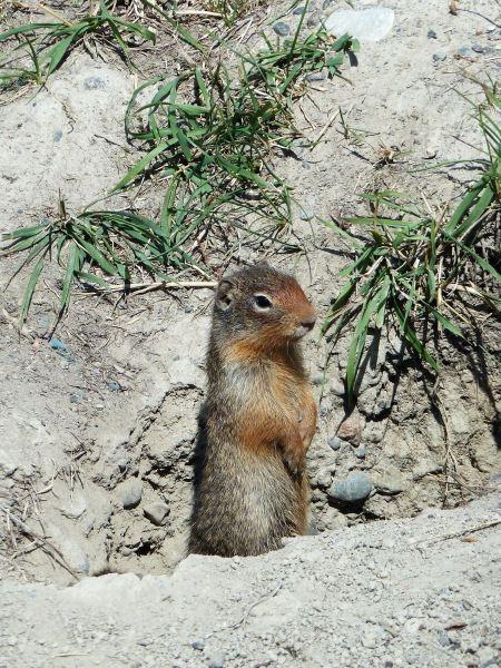 Free European ground squirrel