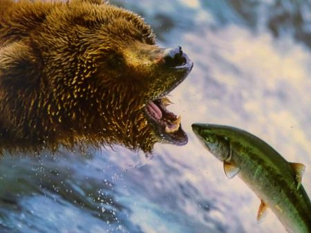 Free Grizly Bears at Katmai National Park, Alaska