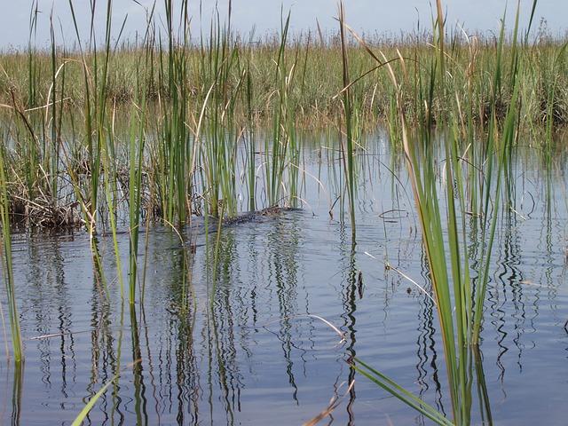 Free reed swamp water rush
