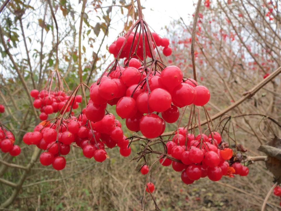 Free European Cranberrybush, Viburnum opulus