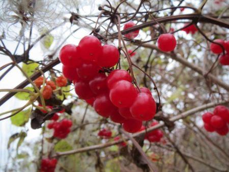 Free European Cranberrybush, Viburnum opulus,