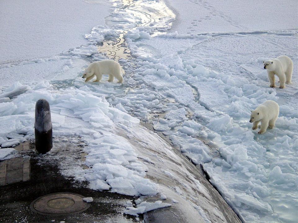 Free polar bears go on snow-covered tundra