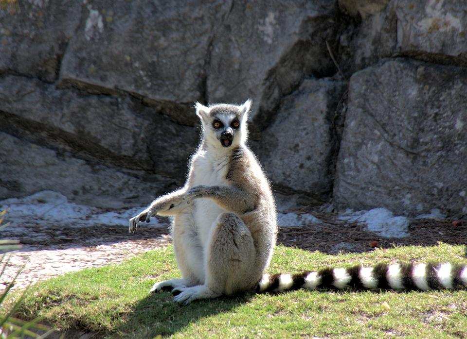 Free a ring-tailed lemur
