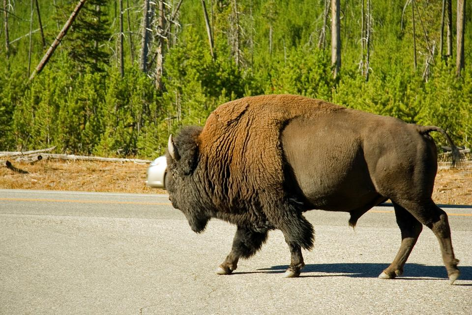 Free bison in grasslands of Yellowstone National Park