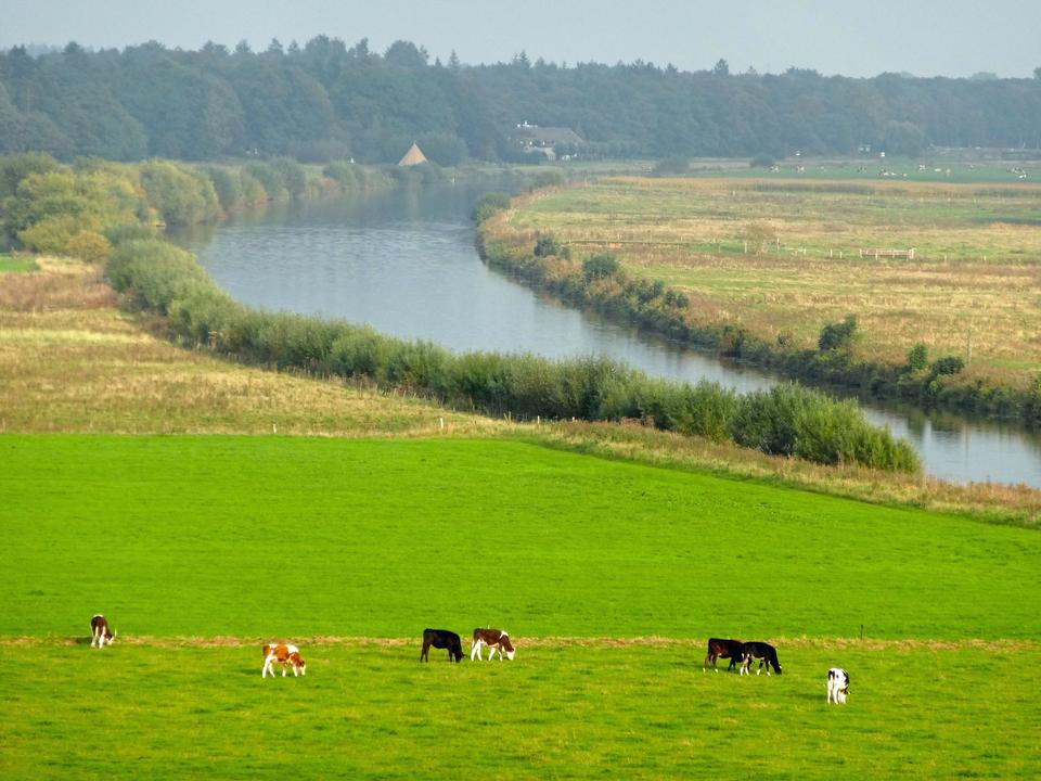 Free cows on the banks of a large river in the Germany