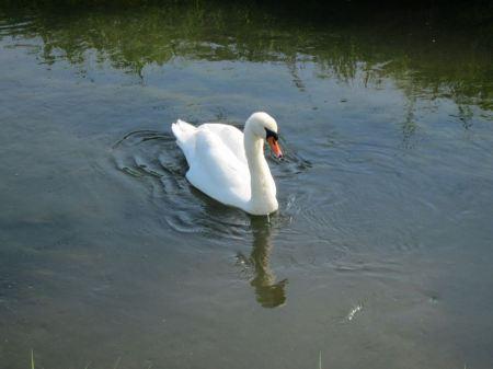 Free Swan swimming in the lake