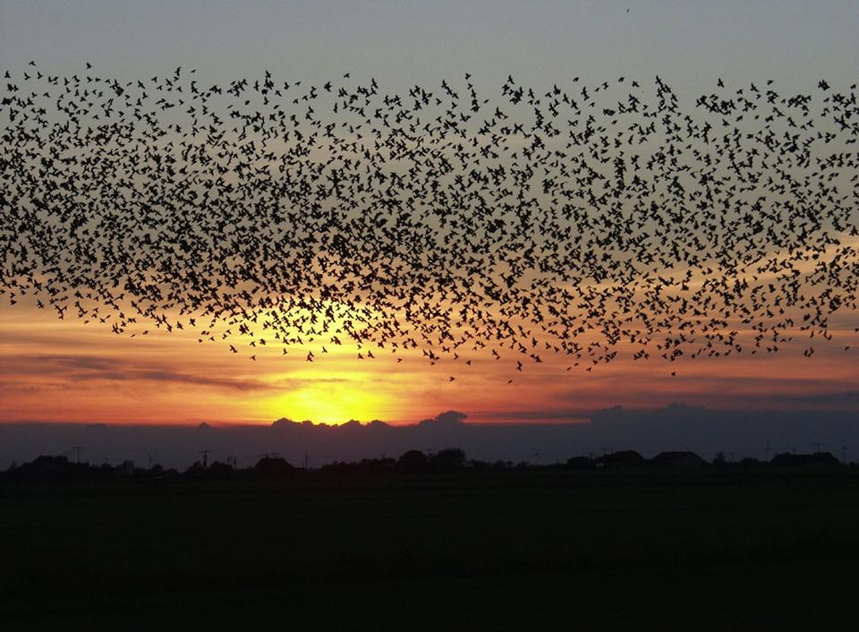Free flock of birds at sunset