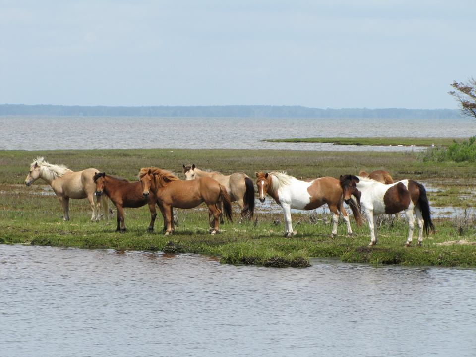 Free horses on watering place