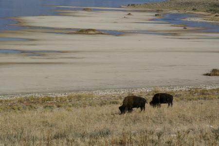 Free Bison in Anterlope Island, Great Salt Lake, Utah,