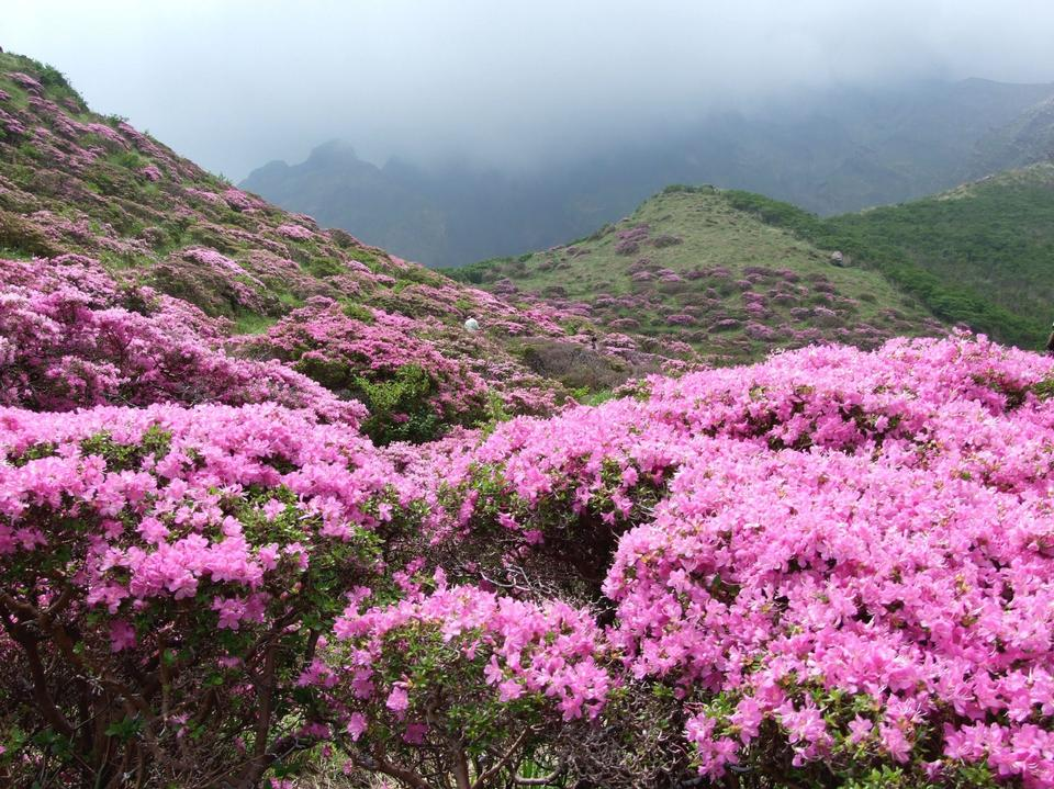 Free Misty spring mountain with azelea flowers and bushes