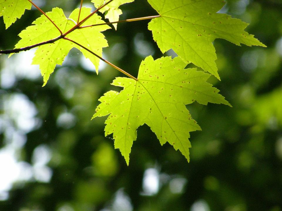 Free Close up of three maple leaves with the sky