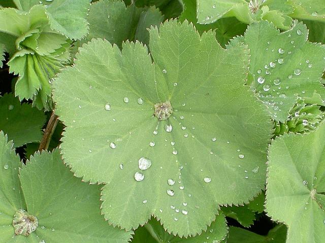 Free alchemilka ladies mantel alchemilla herb leaf