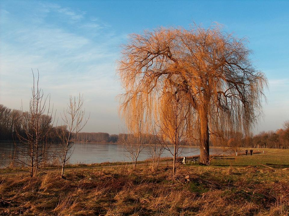 Free Weeping Willow on the Rhine river Germany