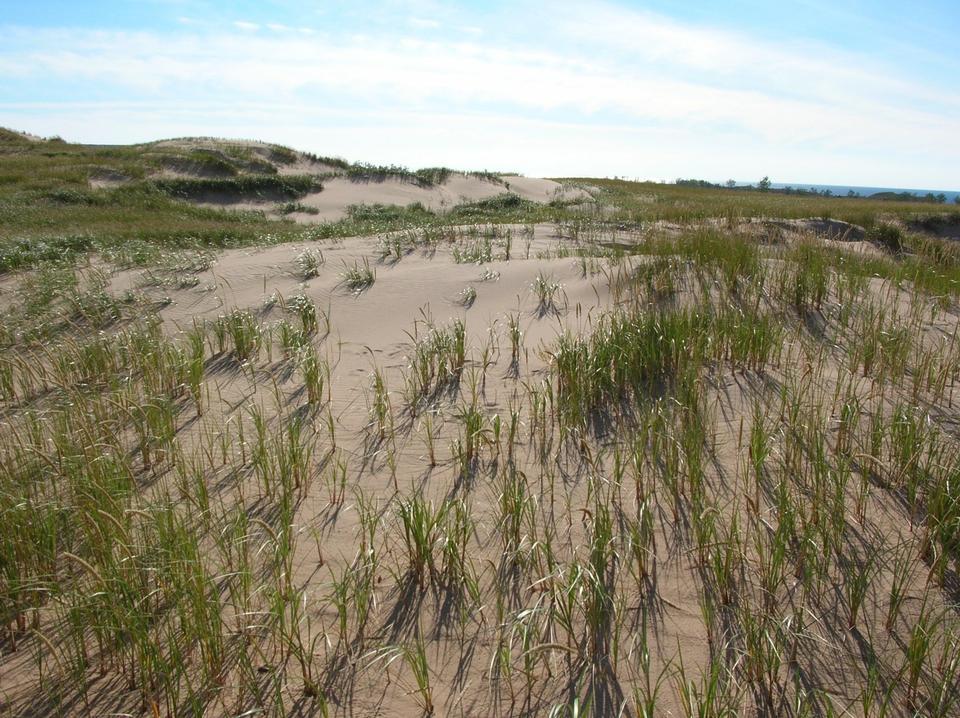 Free Dunes and Dune Grass