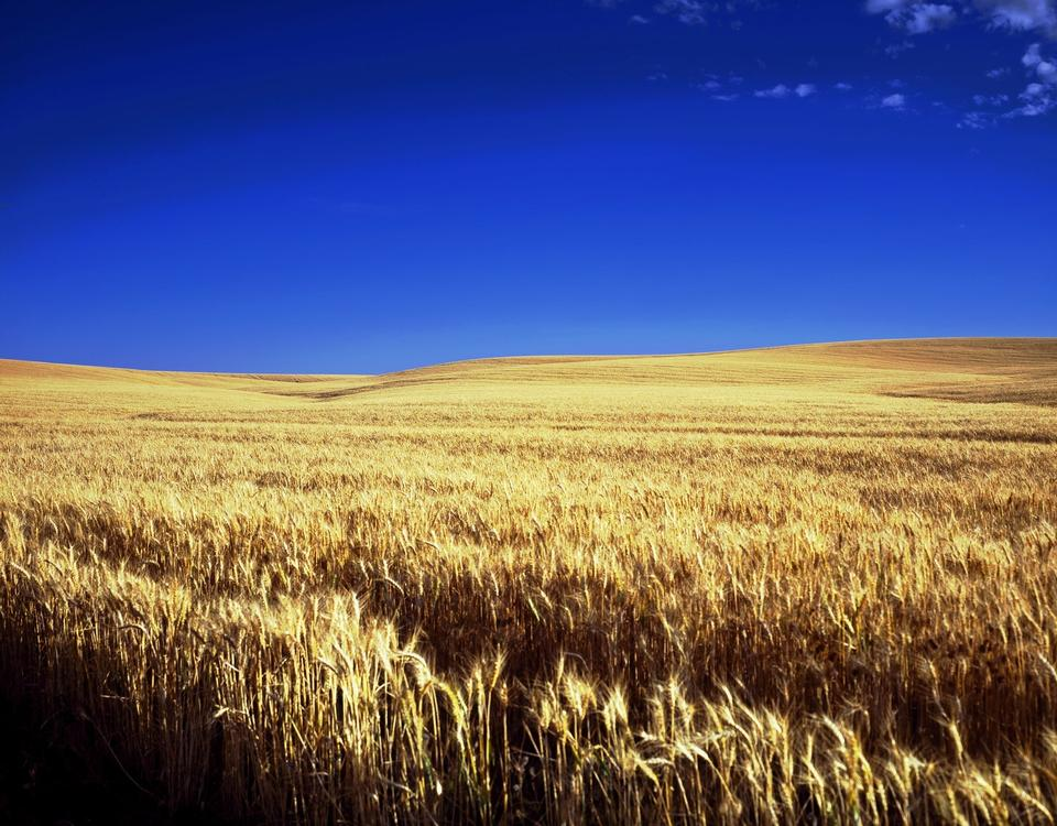 Free Wheat field and blue sky