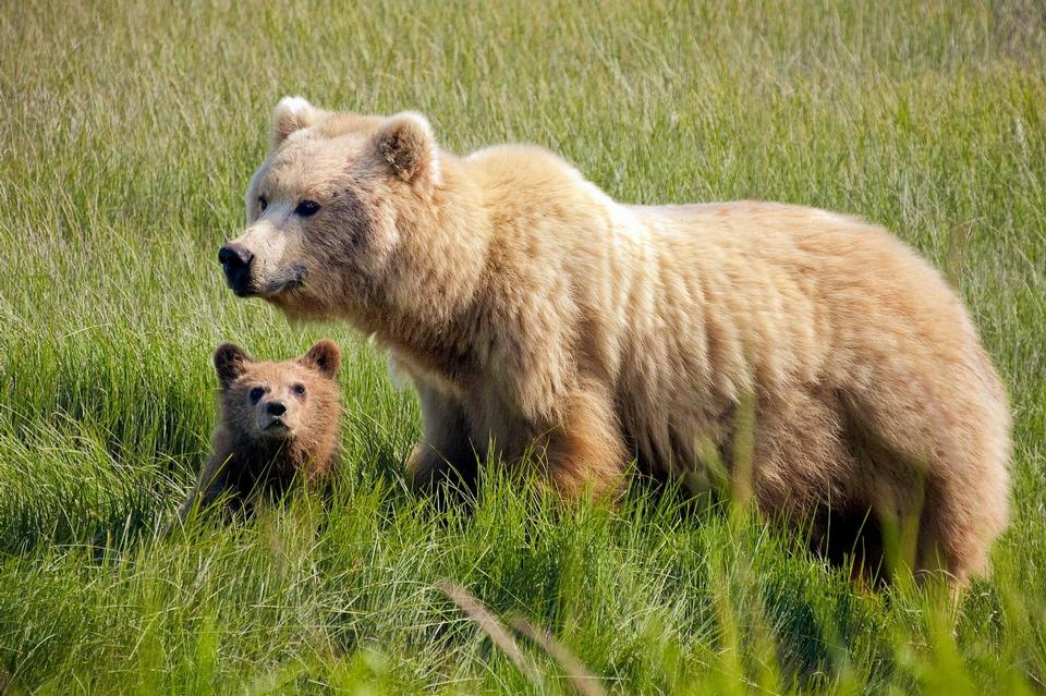 Free Brown Bear Female with cub at Silver Salmon Creek