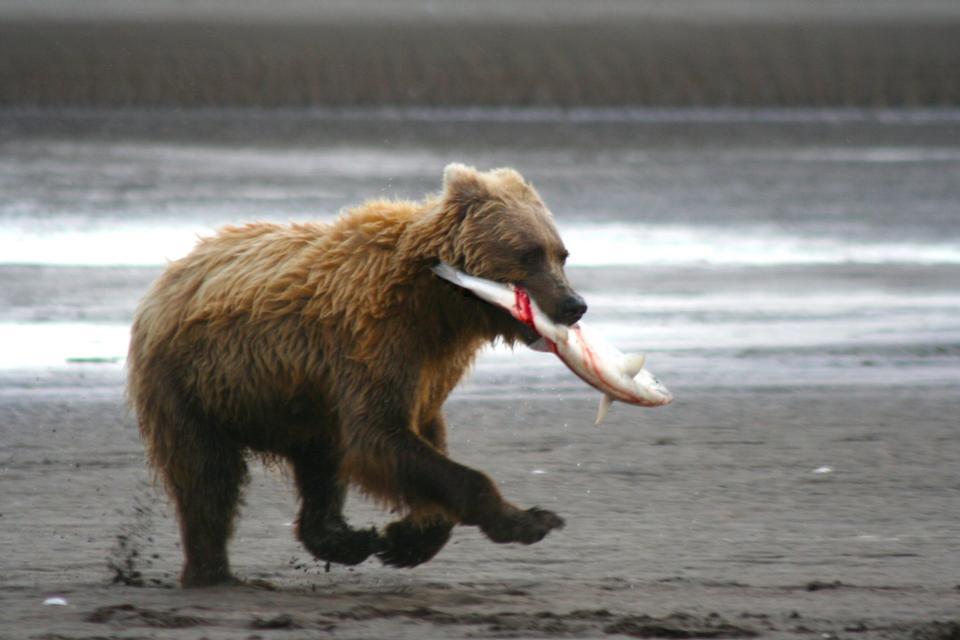 Free A coastal brown bear runs down the beach with a salmon at Silver